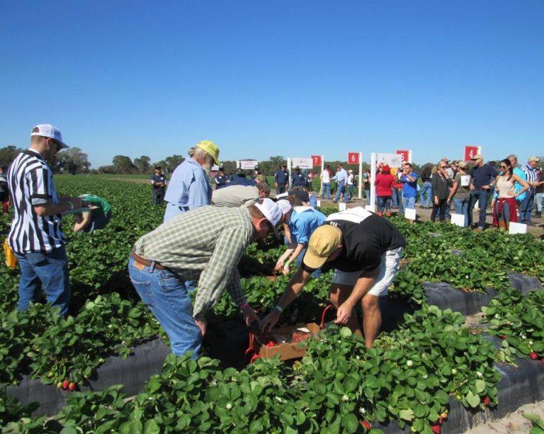 Wish Farms Strawberry Picking Challenge